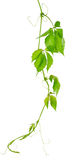 Grape vine leaves royalty free stock photo