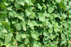 Grape vine leaves background Stock Images