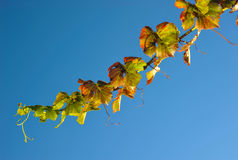 Grape vine with leaves from below Stock Image