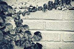 Grape Vine Leaves Border - Sepia Toned Royalty Free Stock Photos