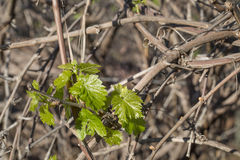 Grape vine Leaves Canes Royalty Free Stock Images