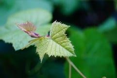 Grape vine leaves Stock Photography