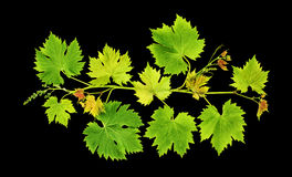 Grape vine leaves isolated black background Stock Photography