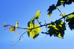 Grape vine leaves isolated on a blue sky Stock Photo