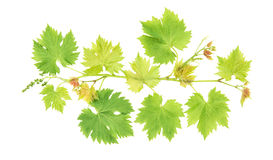 Grape vine leaves isolated on white background Stock Photos