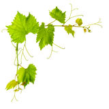 Grape vine leaves isolated on white background Royalty Free Stock Images
