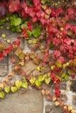 Grape vine liana Stock Image