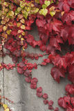 Grape vine liana in autumn Royalty Free Stock Image