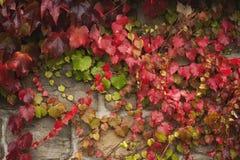 Grape vine liana Stock Photo