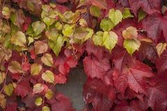 Grape vine liana Stock Images