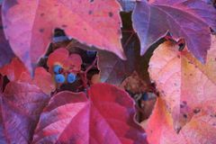 Grape vine look alike in fall foliage. Close up of sprightly colored reds, golds, blue and black berries fruit under broad pointed leaves of Boston Ivy royalty free stock photo