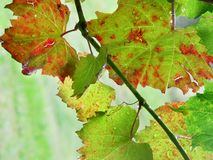 Grape Vine Macro Stock Photography