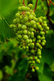 Grape vine. In natural background Royalty Free Stock Images
