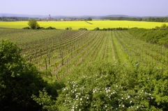 Grape vine and oilseed rape 2 Royalty Free Stock Images