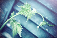 Grape vine old style background Royalty Free Stock Images