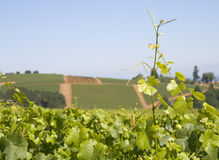 Grape Vine over the Vineyard Hills Royalty Free Stock Image