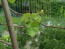 Grape-vine plant Royalty Free Stock Image