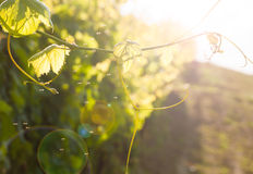 Grape vine plant in a vineyard Stock Photography