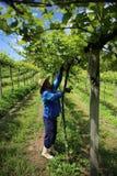 Grape vine pruning Royalty Free Stock Image