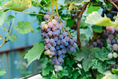 Grape-vine with purple grapes. Bunch of ripening grapes hanging Royalty Free Stock Photography