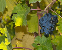 Grape on the vine Royalty Free Stock Photography