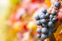 Grape on vine. Red grape on vine, close up Stock Images