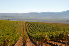 Grape vine rows in a Calif vineyard Royalty Free Stock Images