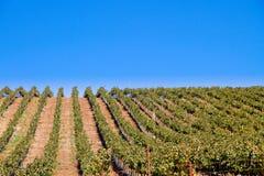 Grape vine rows in Calif vineyard Stock Images
