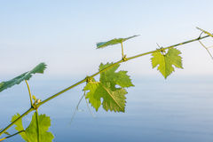 Grape vine with sea view Stock Images