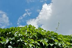 Grape vine and sky Stock Photo