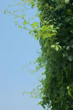 Grape vine and sky Royalty Free Stock Photos