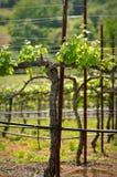 Grape Vine in Spring Napa Stock Image