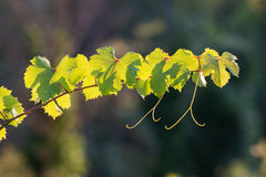 Grape vine sprout backlit, illuminated by rays of sun on a summe Stock Image