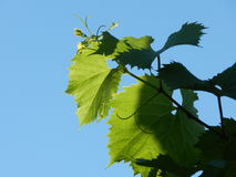 Grape vine stretches to the sky Royalty Free Stock Images