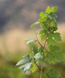 A grape vine in the sun. A growing grape vine with green leaves royalty free stock photography