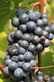 Grape vine. On a sunny day Stock Images