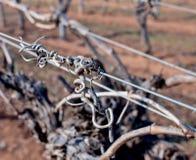 Grape Vine Tendrils on Trellis. Stock Photos