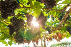 Grape on vine tree branch royalty free stock photography