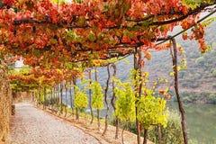 Grape vine tunnel. Archway passage in the garden from autumn grape vine near Douro river, Portugal Stock Photo