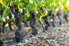 Grape of vine into vineyards of Beaujolais Stock Photo