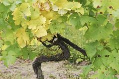 Grape vine in vineyard at Dorking. Surrey. England Royalty Free Stock Image