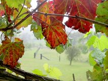 Grape Vine Window Stock Photography