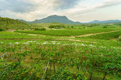 Grape vine yard with mountain as the background Royalty Free Stock Photos