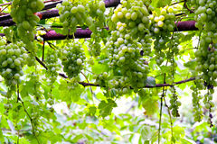 Grape vinery Royalty Free Stock Image