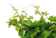 Free Grape Vines Stock Photos - 1238383