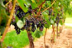 Grape vines Royalty Free Stock Photography