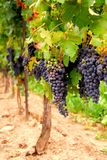 Grape vines Stock Photos