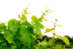 Grape vines. Branches of grape vines on white background Royalty Free Stock Photos