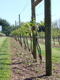Grape Vines Stock Photography