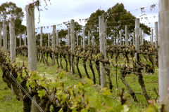Grape Vines. Rows of grape vines showing new growth after harvest Stock Photos